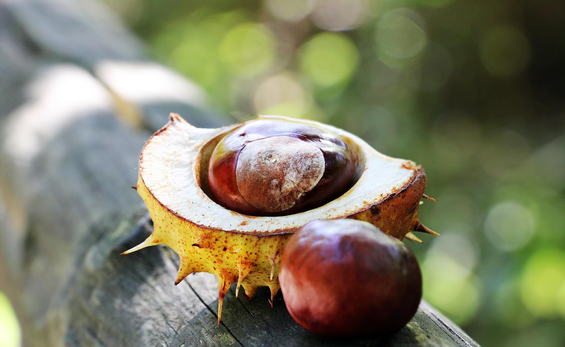 chestnut 1698741 1920 1