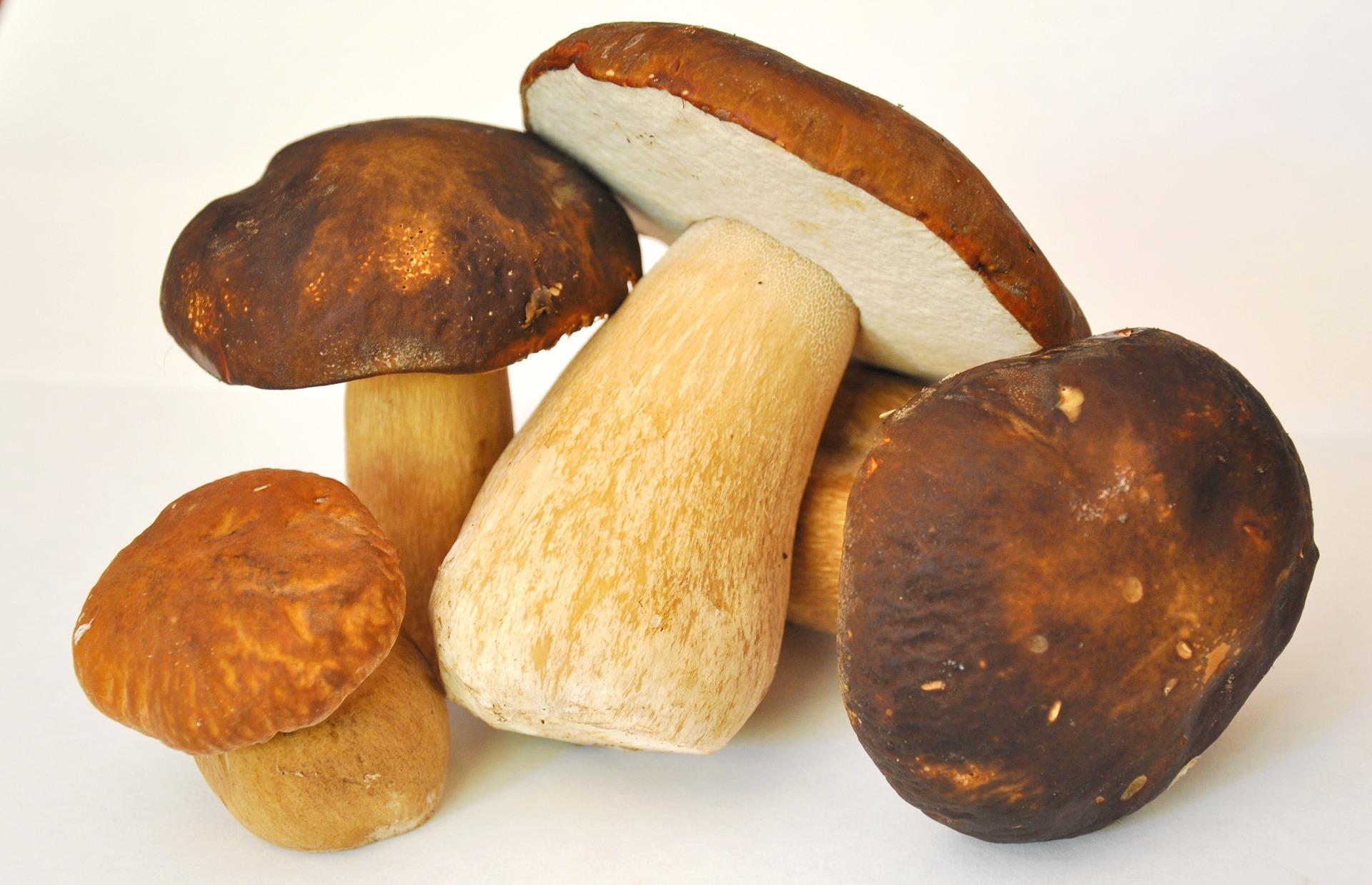 come scegliere i funghi porcini appena raccolti