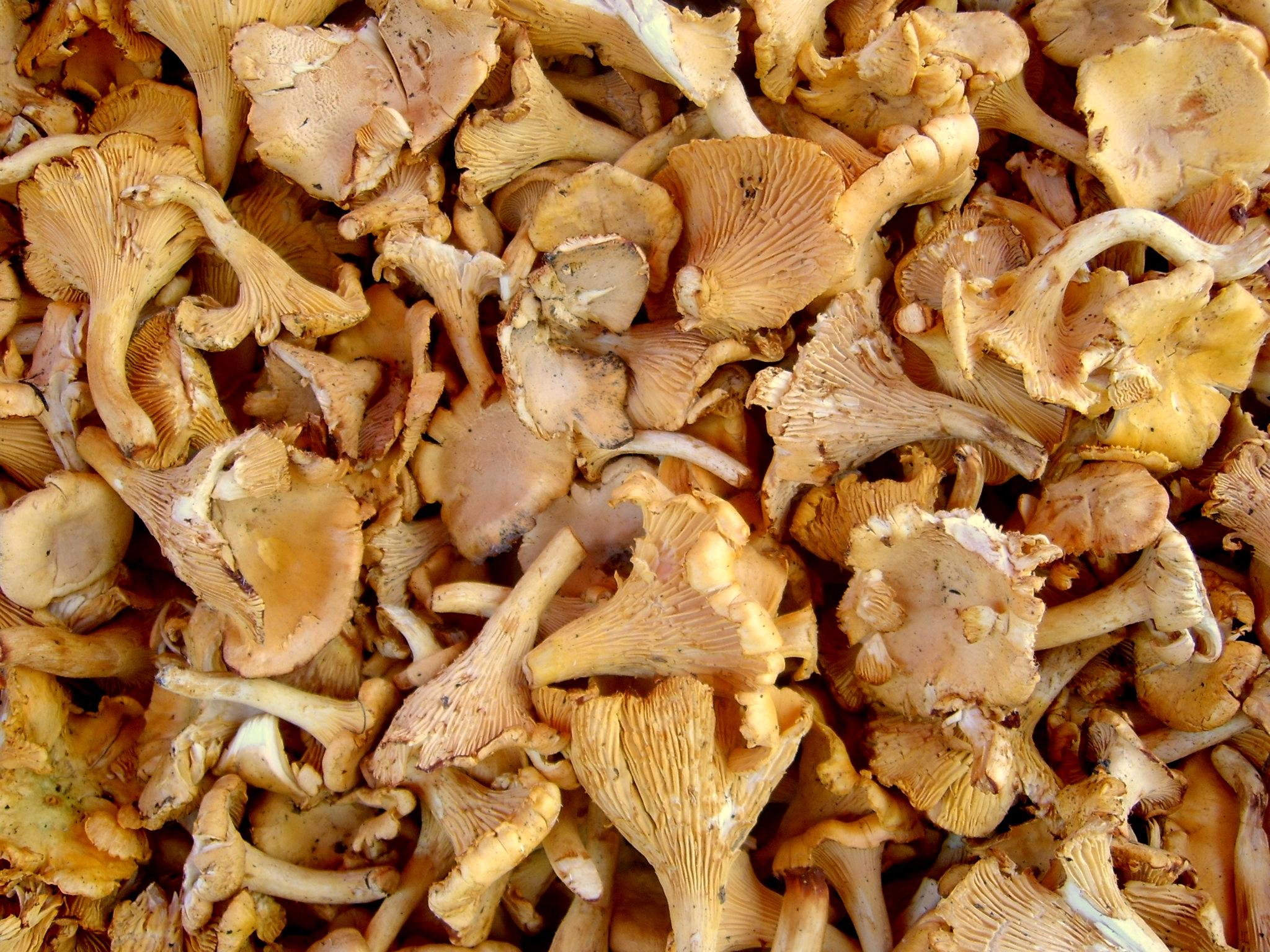 Ricette di pasta con i funghi galletti: come prepararla