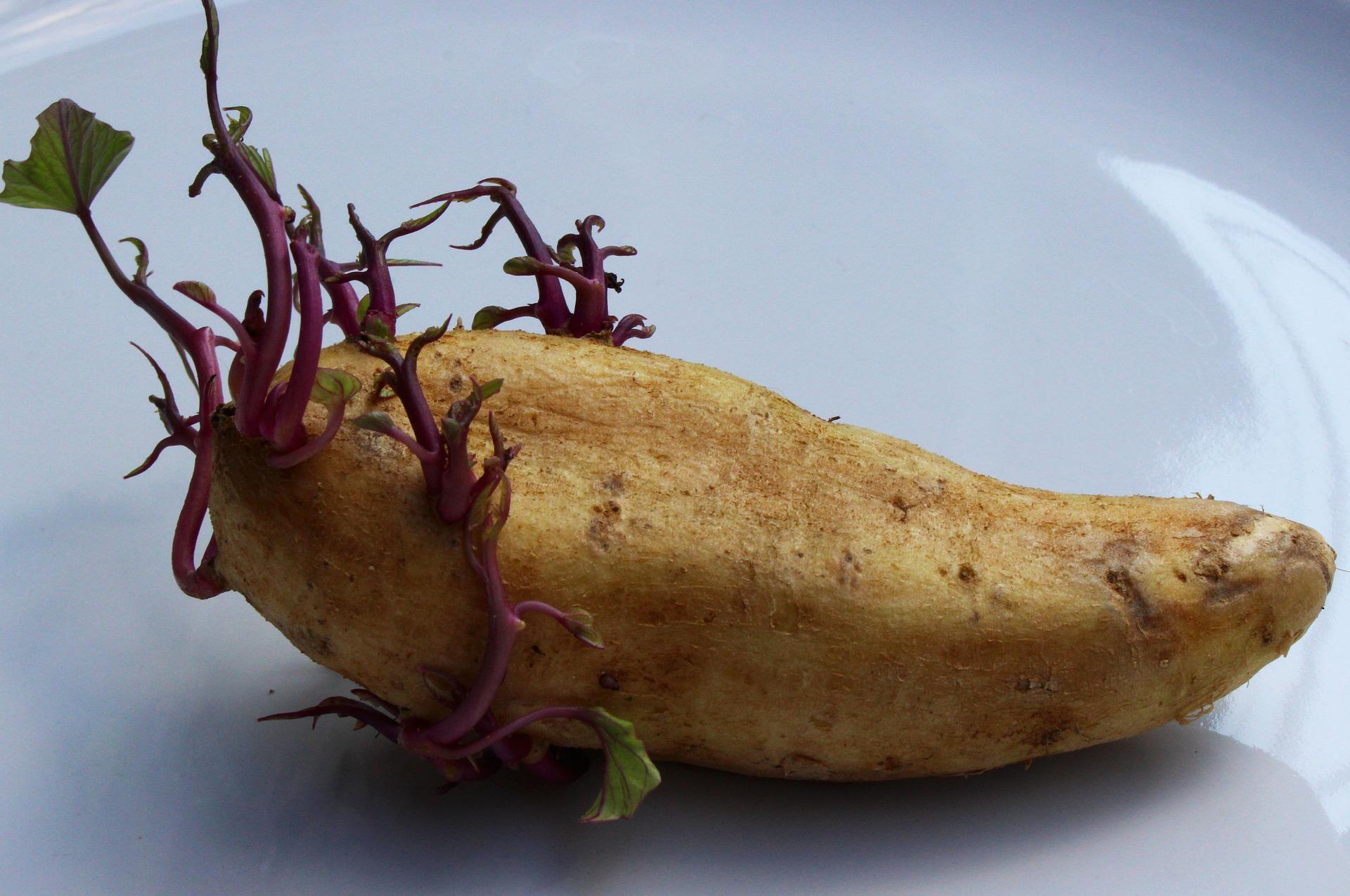 come conservare le patate senza farle germogliare